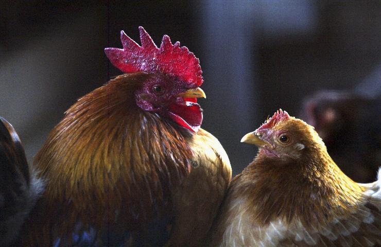 Influenza aviaria un caso su un uomo